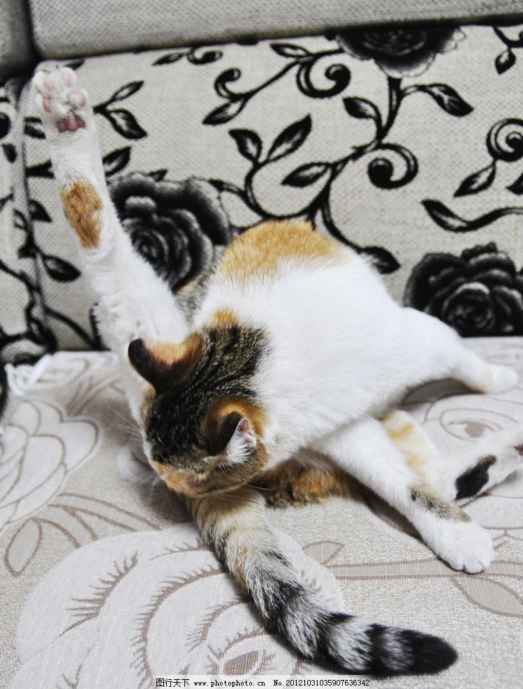 猫咪 小猫 花猫 咪咪 黄猫 宠物 大眼睛 爪子 眼线 耳朵 照片 嘴巴