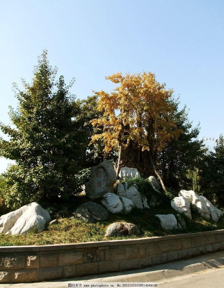 银杏树 古树 园林 秋色 金色秋天 园林摄影 公园一角 园林景观