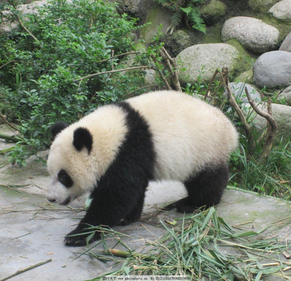 熊猫 国宝 大熊猫 成都 野生动物 生物世界 摄影 180dpi jpg