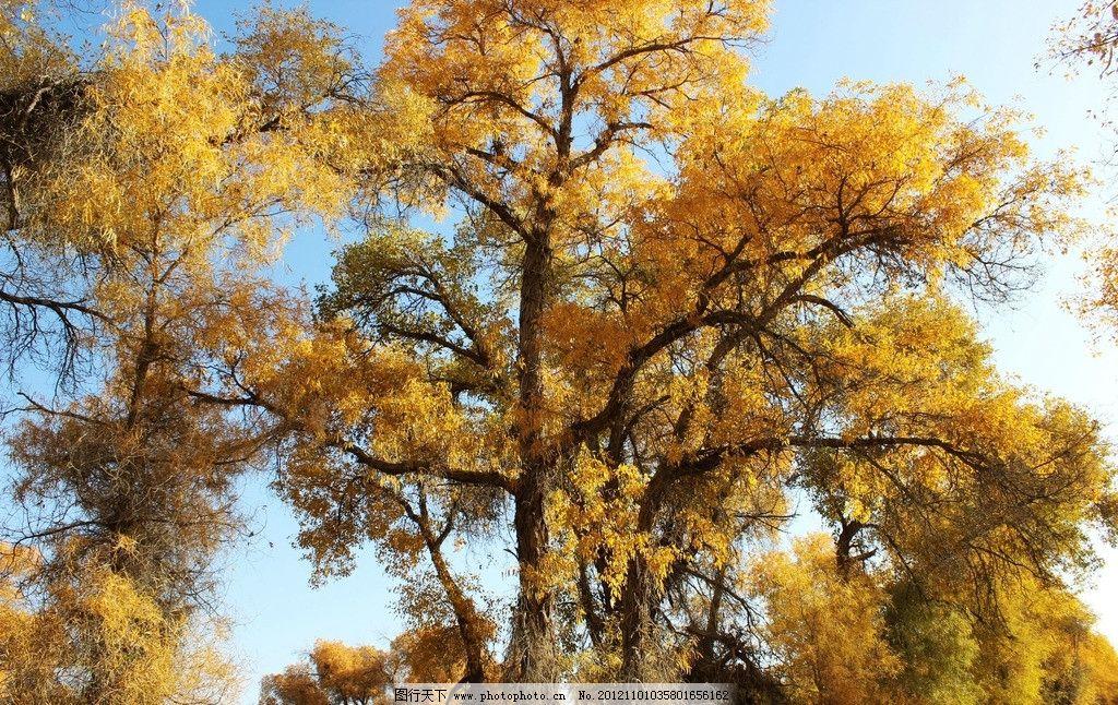 新疆轮台胡杨林 轮南 胡杨树 蓝天 树木树叶 生物世界 摄影 72dpi jpg