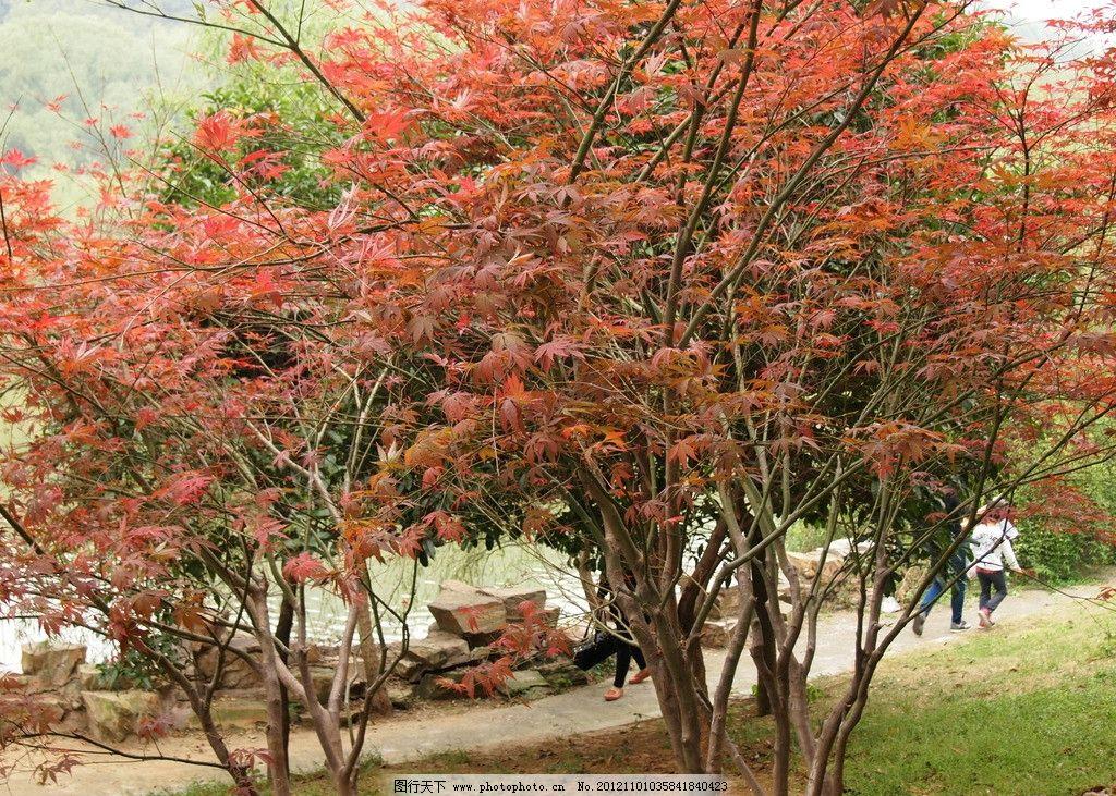 红枫叶 君山 枫叶 树木 红叶 枫树 生物世界 摄影 树木树叶 314dpi