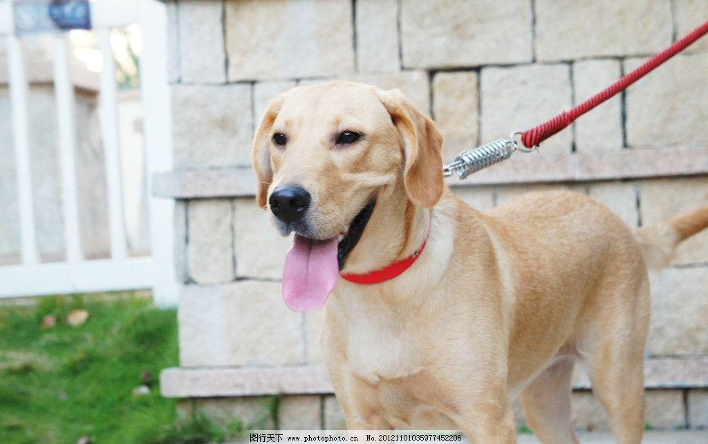 拉布拉多犬图片