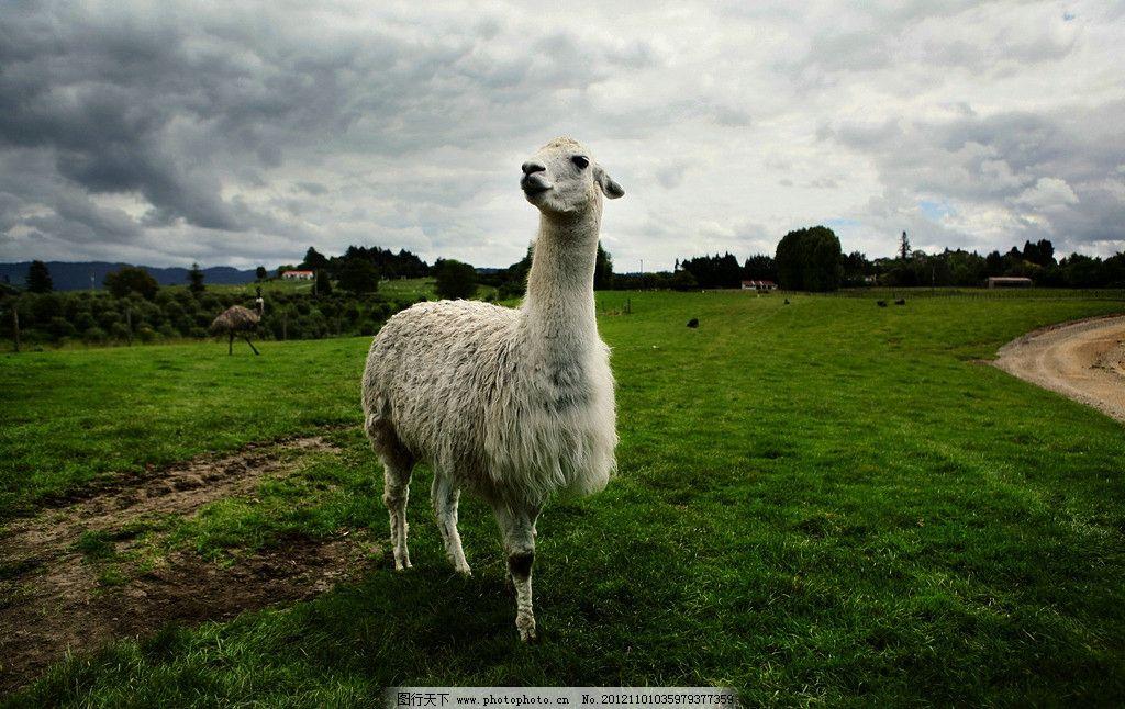羊驼 神兽 草泥马