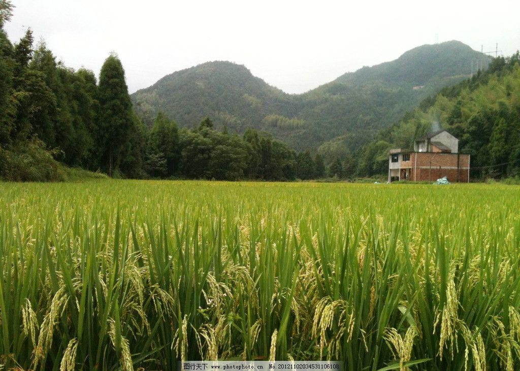 稻谷 金黄 稻穗 丰收 田园风光 自然景观 摄影 72dpi jpg