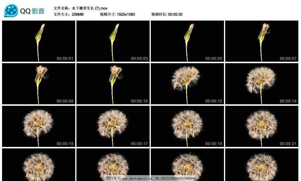 蒲公英生长开花过程高清实拍视频素材