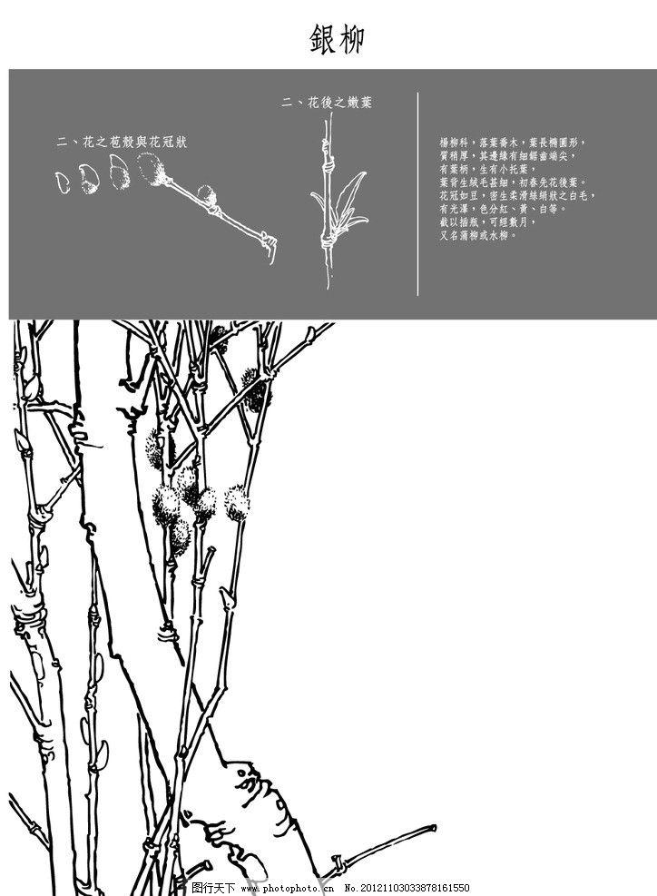 中国风花卉 银柳 中国风 白描 花卉 植物 矢量素材 其他矢量 矢量 eps