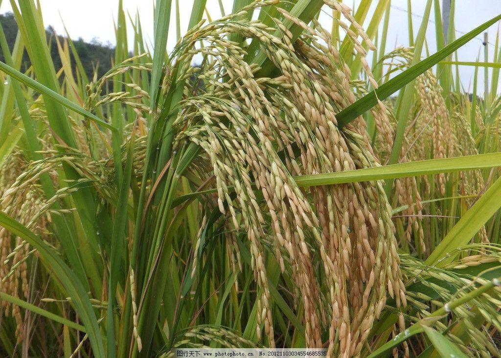 水稻 稻田 稻田地 蓝天白云 农作物 收获 丰收 秋收 稻子 禾稻