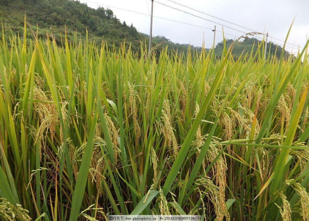 水稻 稻田 稻田地 蓝天白云稻田 农作物 收获 丰收 秋收 稻子