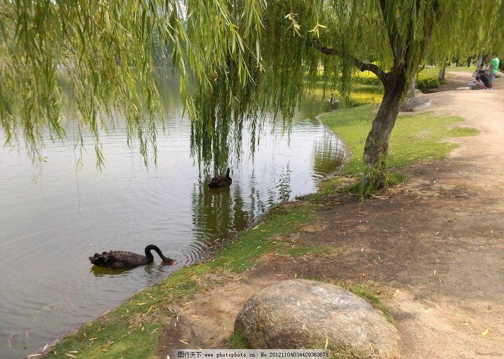 芙蓉湖黑天鹅 芙蓉湖 黑天鹅 柳树 石头 山水风景 自然景观 摄影 72