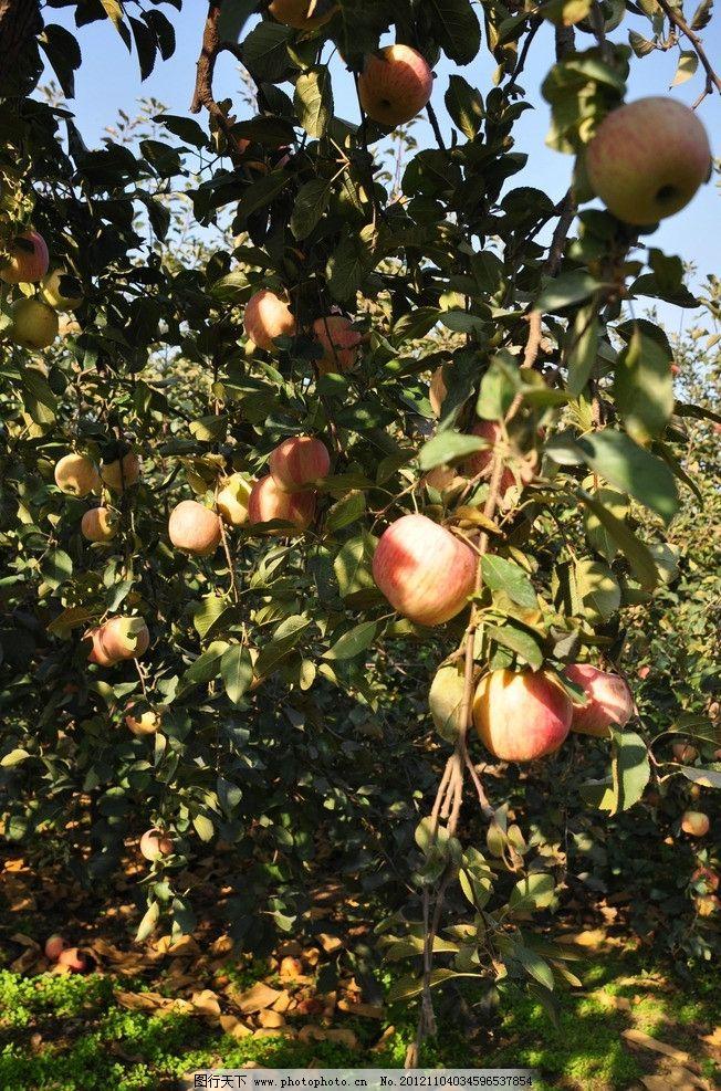 苹果树 树林 阳光 田园风光 苹果 乡村 红苹果 自然景观 摄影 300dpi