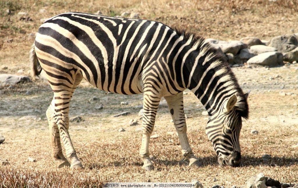 斑马 条纹 黑白 线条 纹路 野生动物 生物世界 摄影 300dpi jpg