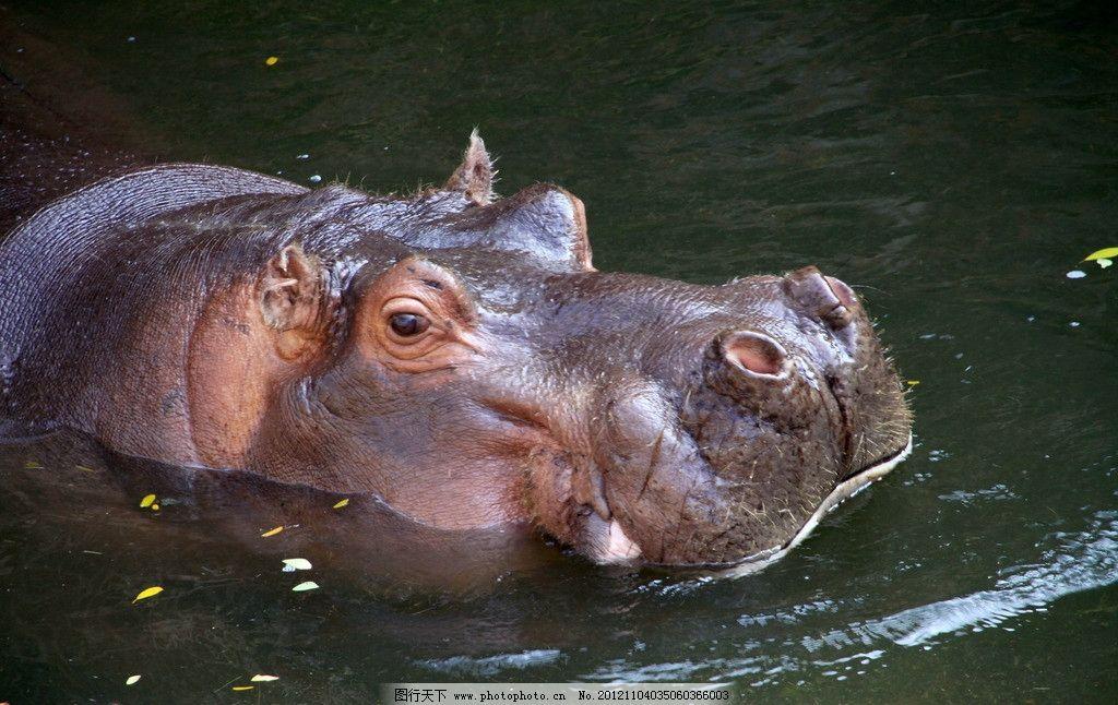 河马 大眼睛 潜水 胖嘟嘟 野生动物 生物世界 摄影 300dpi jpg