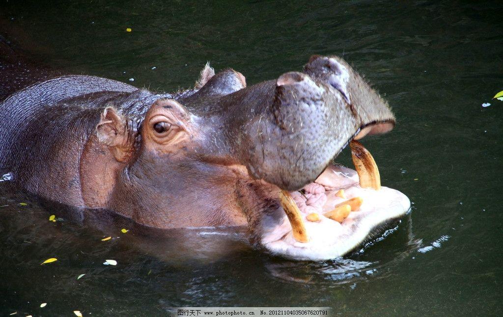 河马 大眼睛 潜水 大嘴巴 野生动物 生物世界 摄影 300dpi jpg