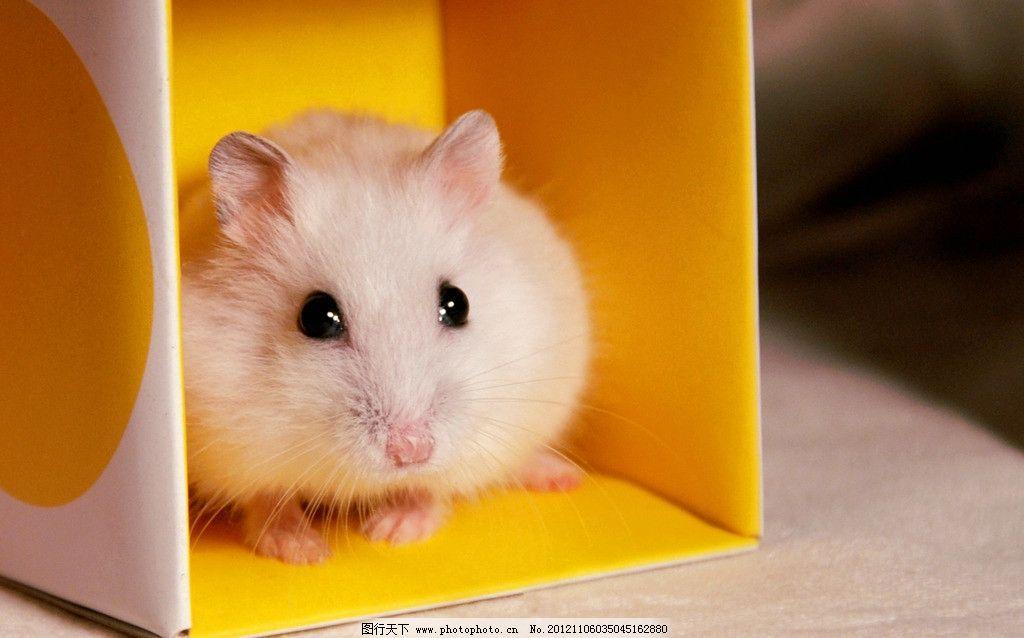 仓鼠 宠物 鼠鼠 可爱仓鼠 白鼠 老鼠 可爱 小动物 动物 动物摄影 摄影
