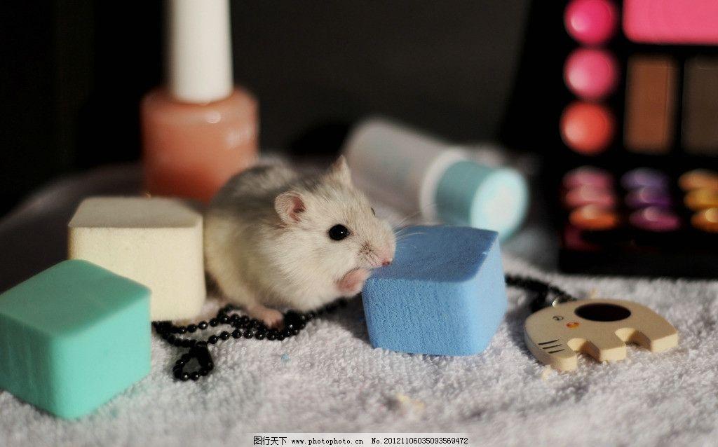 鼠鼠 可爱仓鼠 白鼠 老鼠 可爱 小动物 动物 动物摄影 摄影 萌 野生