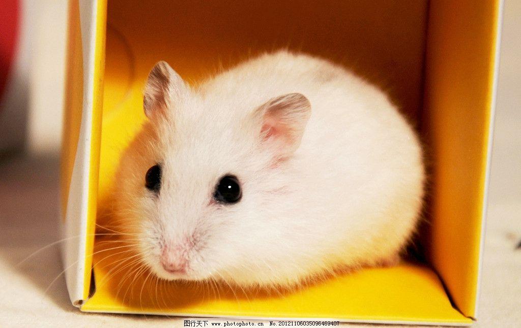 仓鼠 宠物 鼠鼠 可爱仓鼠
