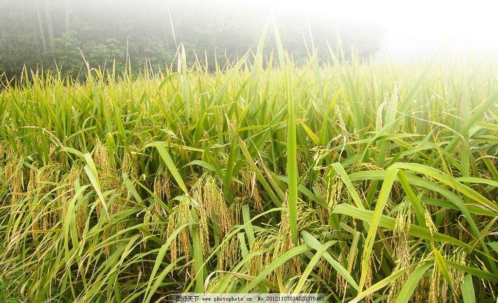 水稻 丰收图片