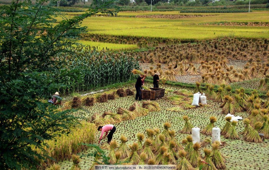 稻田 丰收 水稻 收获 秋季 田园风光 自然景观 摄影 300dpi jpg