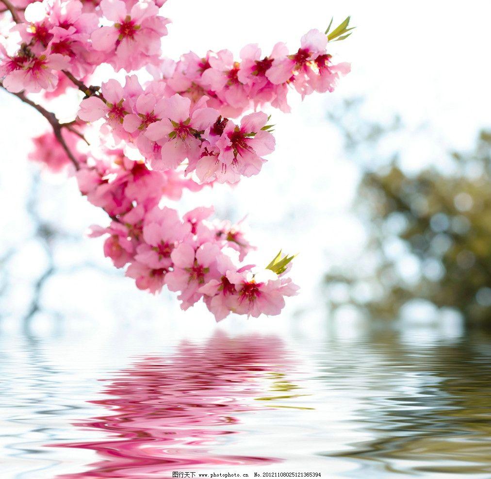 水面桃花 桃花 倒影 水纹 粉色 鲜花 花草 水中 水面 红色 粉红桃花