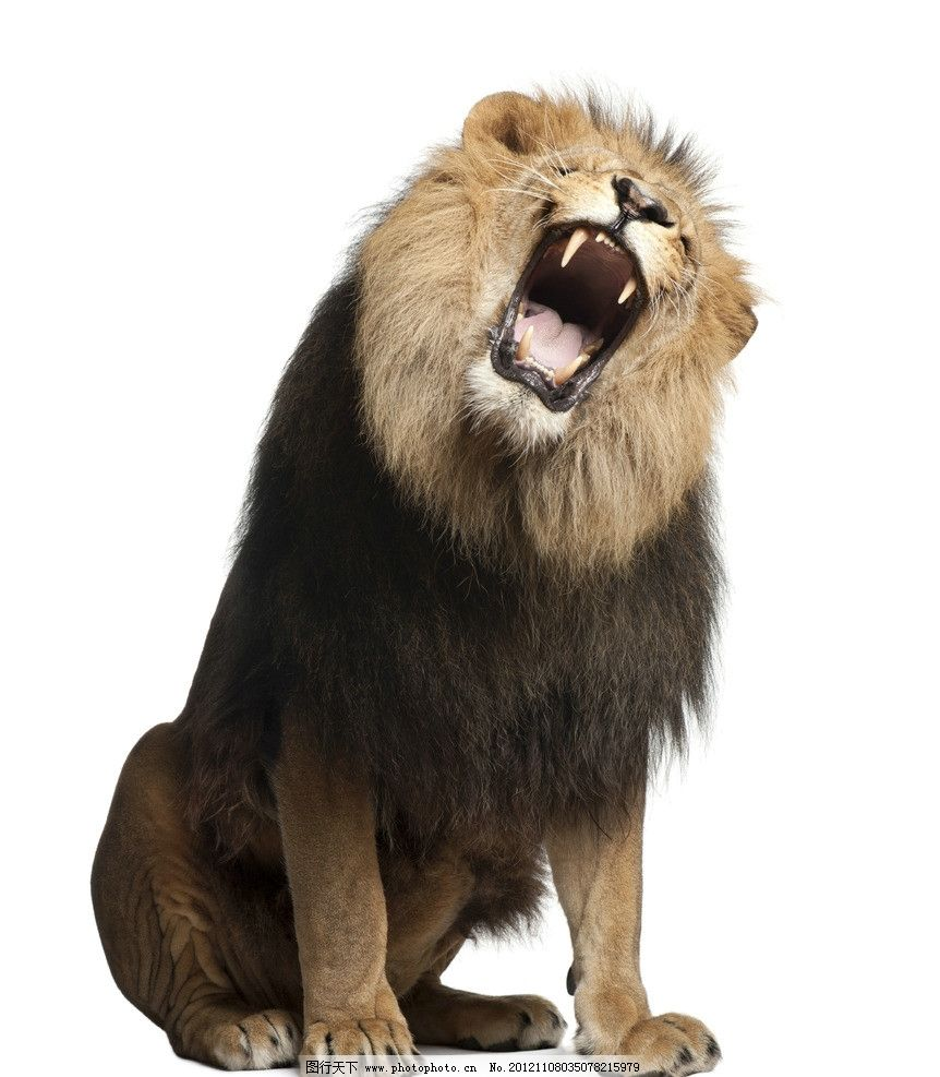 狮子 雄狮 怒吼 吼叫 狮吼 动物 万兽之王 野生动物 生物世界 摄影 72