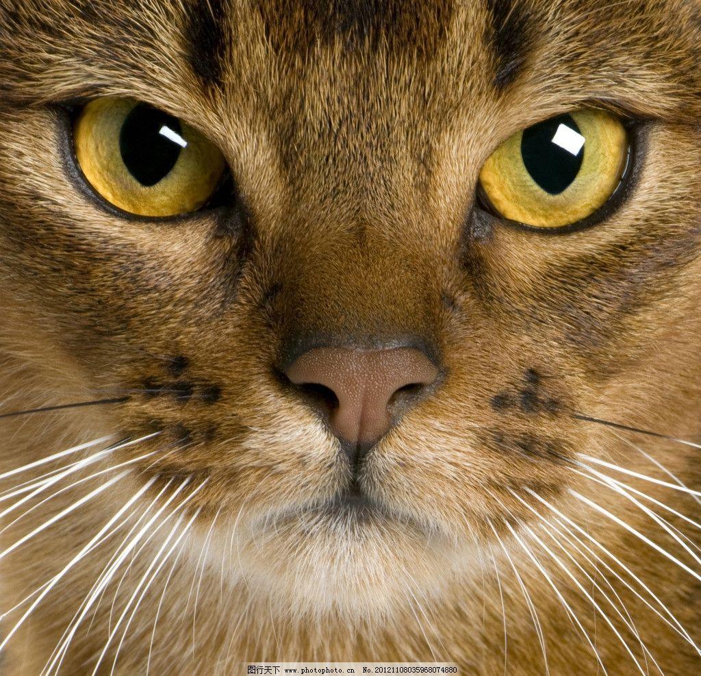 猫咪 猫动物头像 家禽家畜 生物世界 摄影 300dpi jpg
