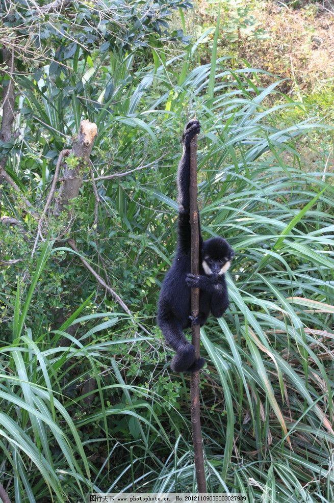 长臂猿图片,猴子 黑猴 动物园 摄影-图行天下图库