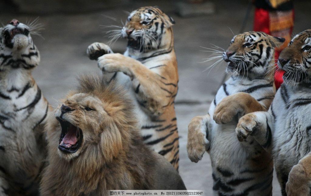 老虎狮子 动物园老虎 摄影