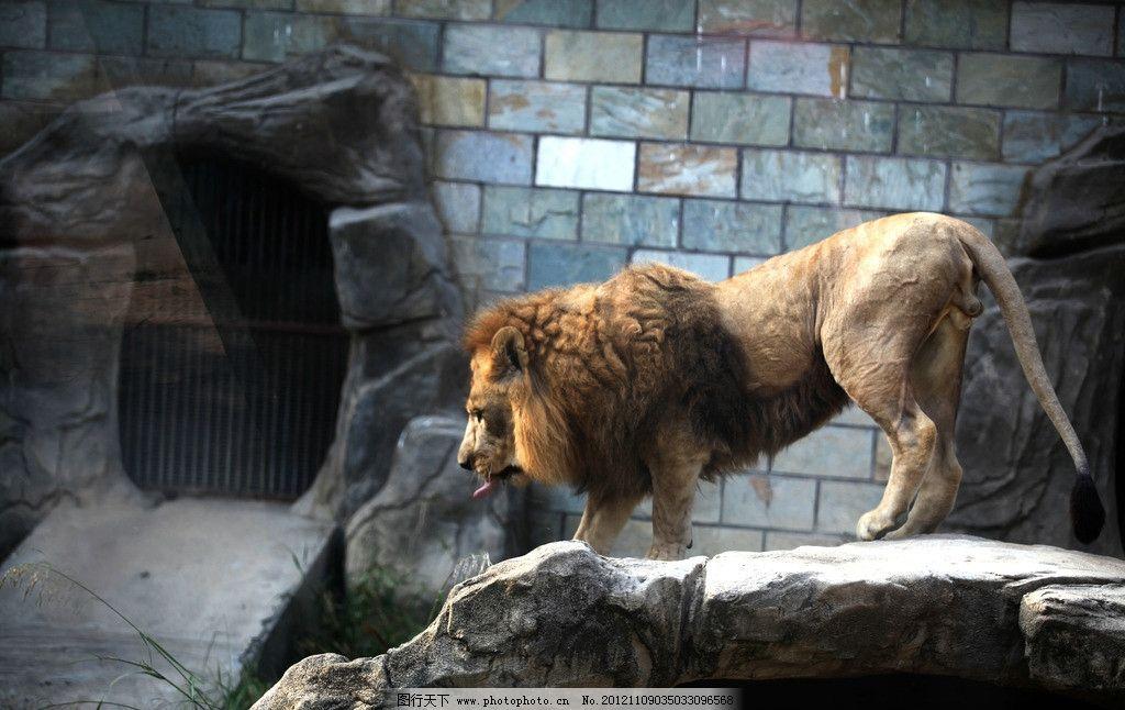狮子 动物 雄狮 动物园 摄影