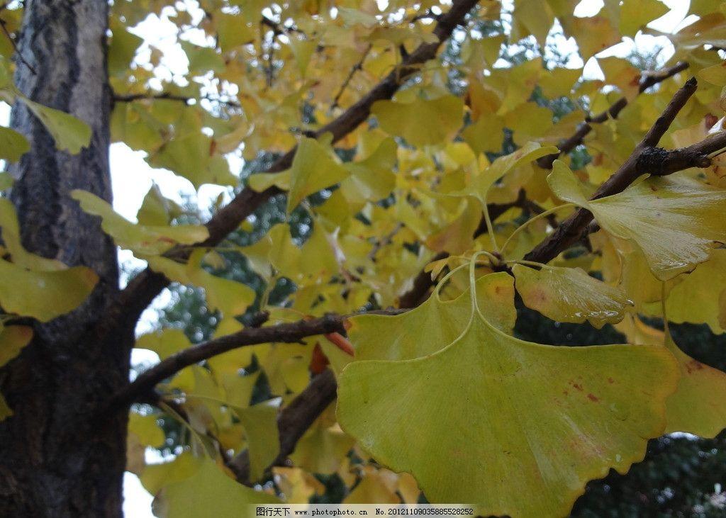 银杏 树叶 银杏叶 白果叶 秋叶 金色银杏 秋天 摄影