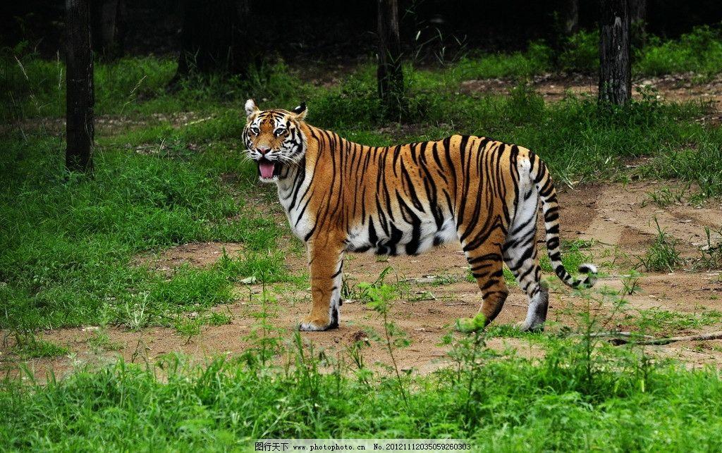 野生动物 老虎 东北虎 猫科动物 食肉动物 动物园 猛兽谷 条纹