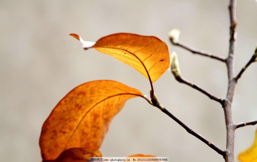 秋后玉兰 秋后 玉兰 叶子 黄叶 映衬 树枝 树木树叶 生物世界 摄影 72