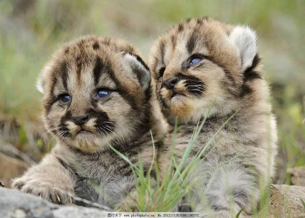 两只小猫图片,可爱 小草 动物 摄影-图行天下图库
