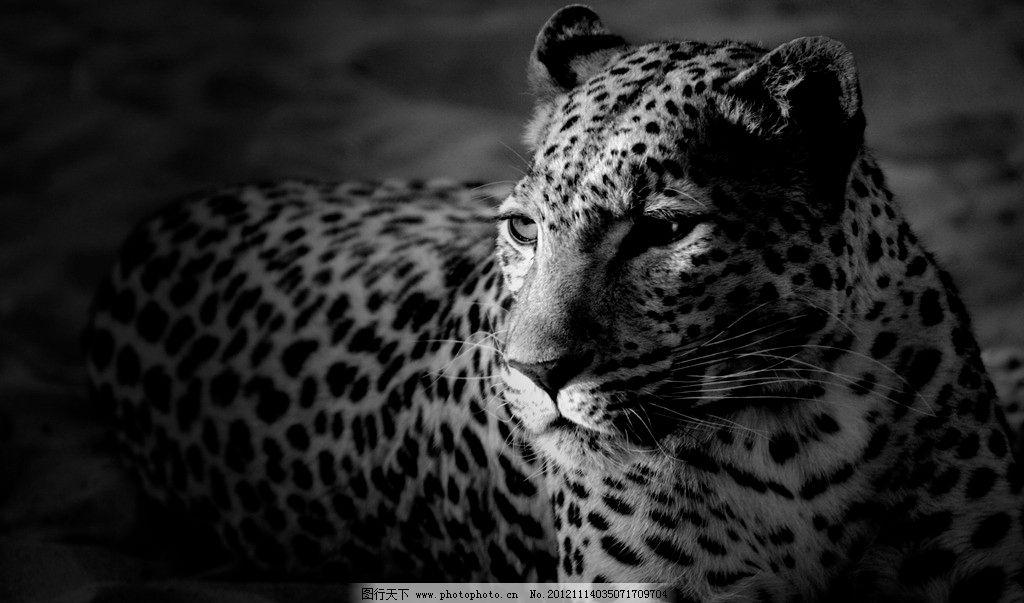金钱豹 野兽 黑白 照片 野生 动物 百兽之王 野生动物世界 摄影