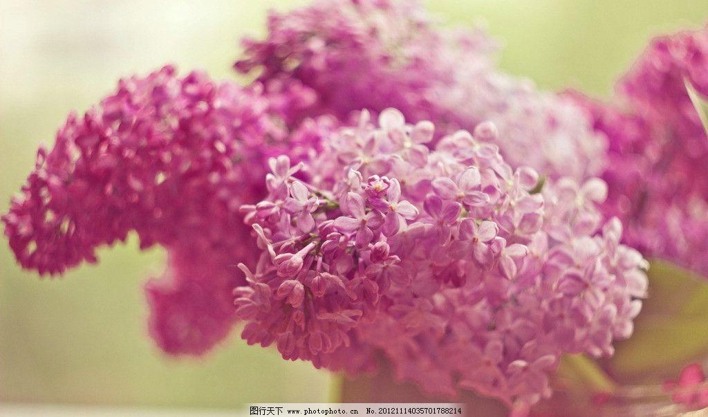 粉色绣球花图片