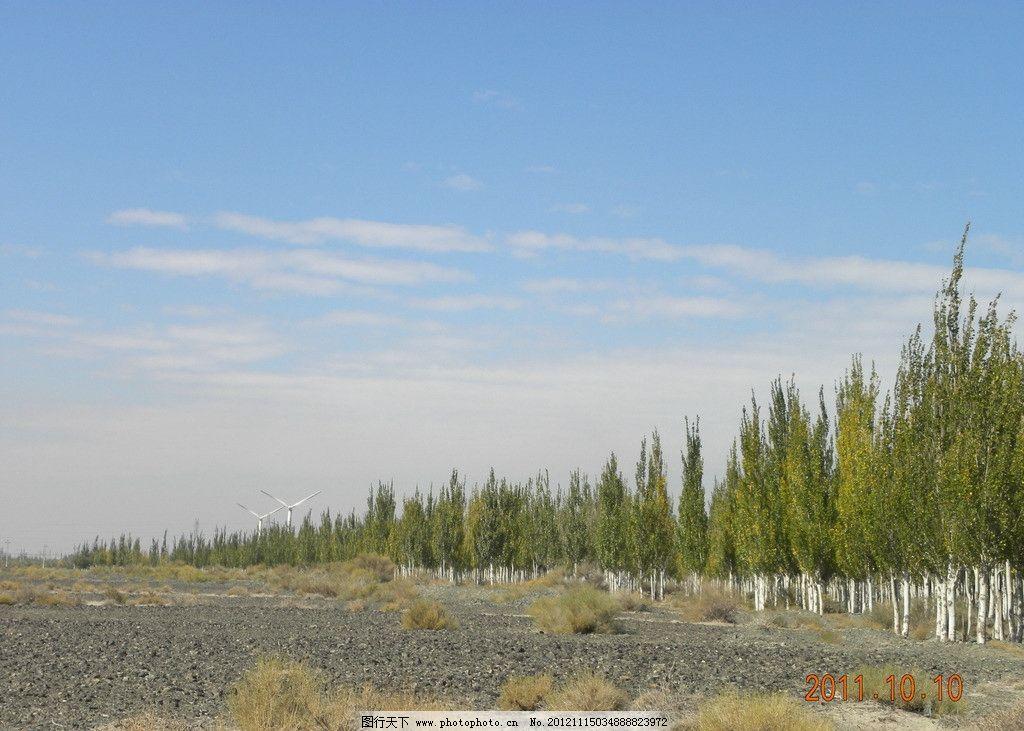 胡杨树林 胡杨树 树林 胡杨 戈壁 蓝天 白云 风景 自然风景 自然景观