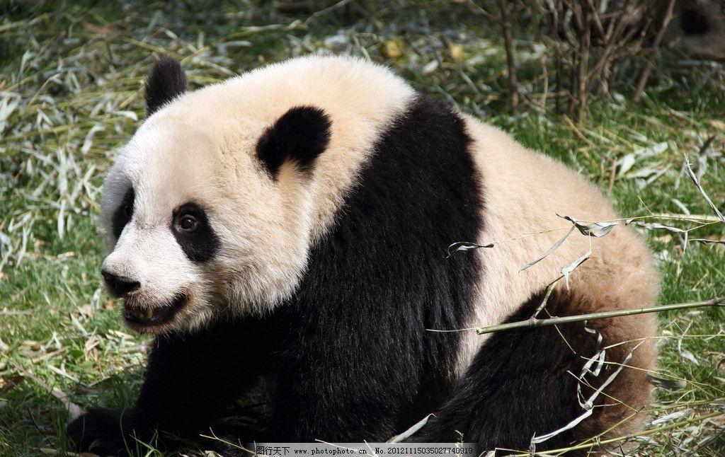 大熊猫 熊猫 成都 大熊猫基地 野生动物 生物世界 摄影 350dpi jpg
