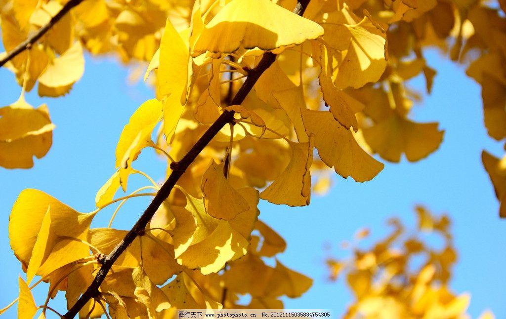 银杏 秋天 黄叶 落叶 晴天 树 银杏叶 树木树叶 生物世界 摄影 72dpi图片