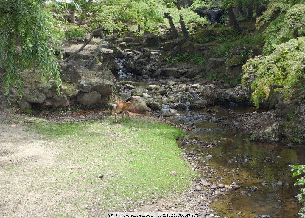 溪涧小鹿 小溪 小鹿 鹿 林中 生物世界 野生动物 素材 动物 摄影 72