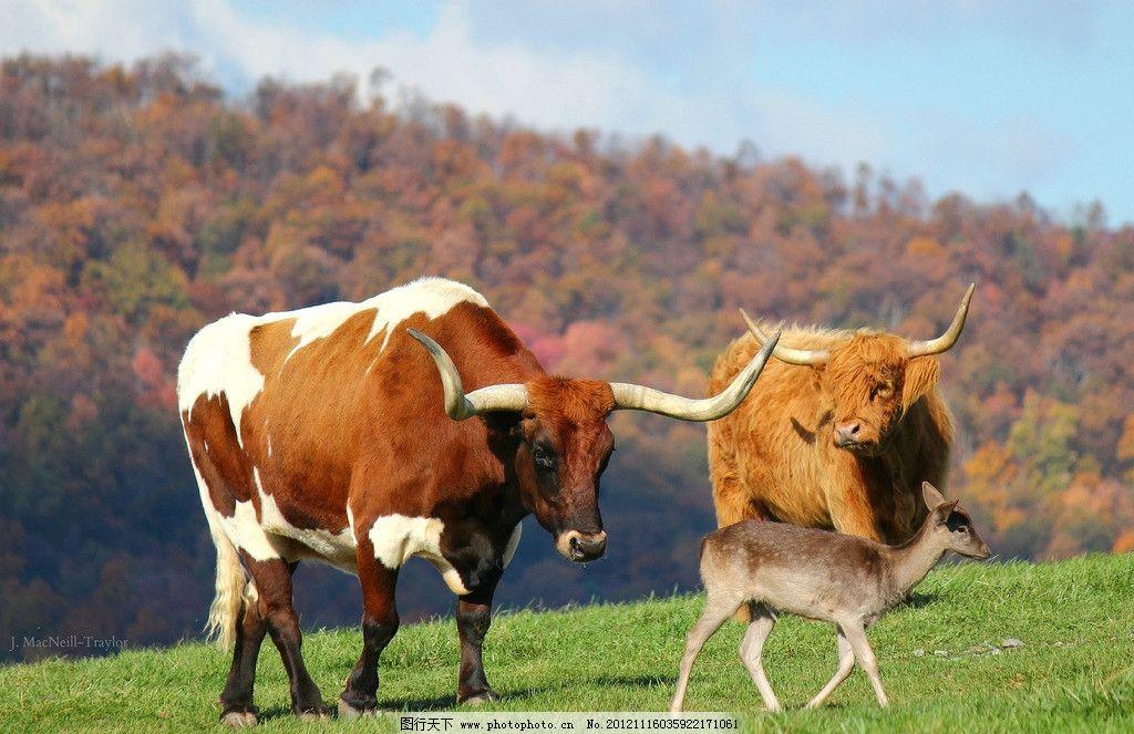 牛与鹿 公牛 黄牛 梅花鹿 草地 蓝天 白云 秋天 秋景 树林 家禽家畜
