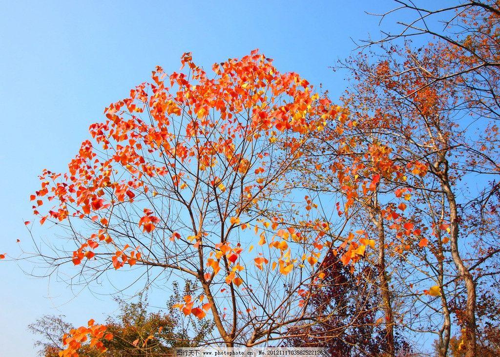 枫树 红叶 秋天 公园 香山 树林 大树 金秋 森林公园 生态公园 枫叶