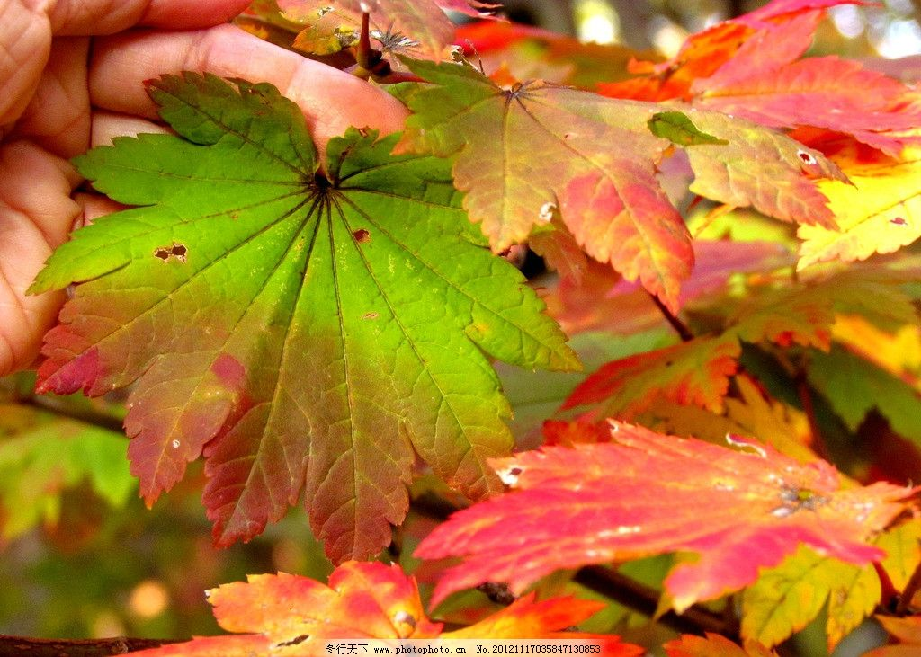 枫叶 枫树 红叶 秋天 公园 香山 金秋 森林公园 生态公园 摄影