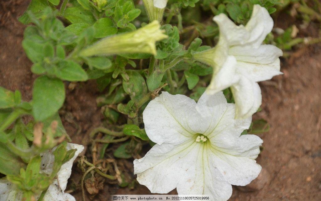 矮牵牛 花卉 碧冬茄 番薯花 单生 叶腋 枝顶 花冠 漏斗状 白色 花卉