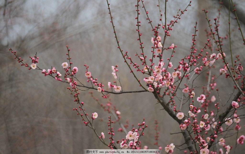 梅争艳 梅花 梅树 梅花朵朵 骨红垂枝 花卉植物摄影 花草 生物世界