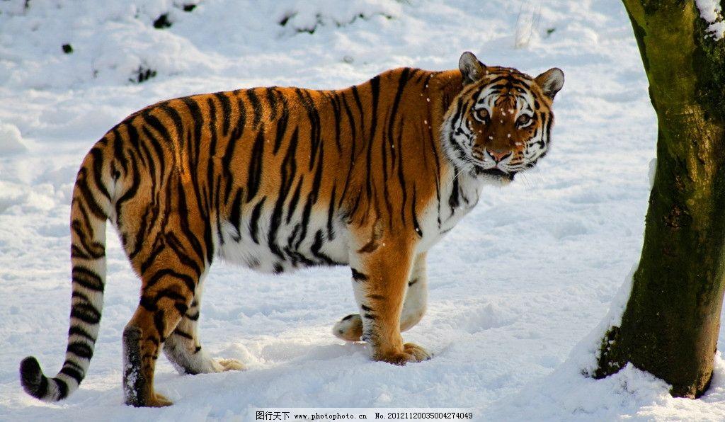 西伯利亚虎 雪地 寒带 老虎 猛兽 野生动物 生物世界 摄影