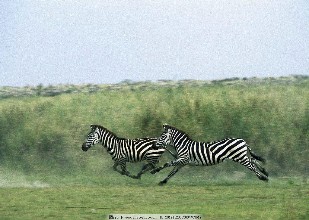 斑马 奔跑 草原 草地 野马 飞奔 野生动物 生物世界 摄影 72dpi jpg