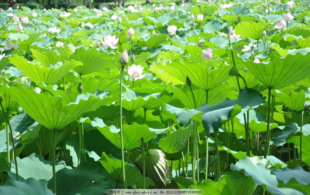 荷叶 荷花 绿色植物 夏天 风景 荷塘 花草 生物世界 摄影 300dpi jpg