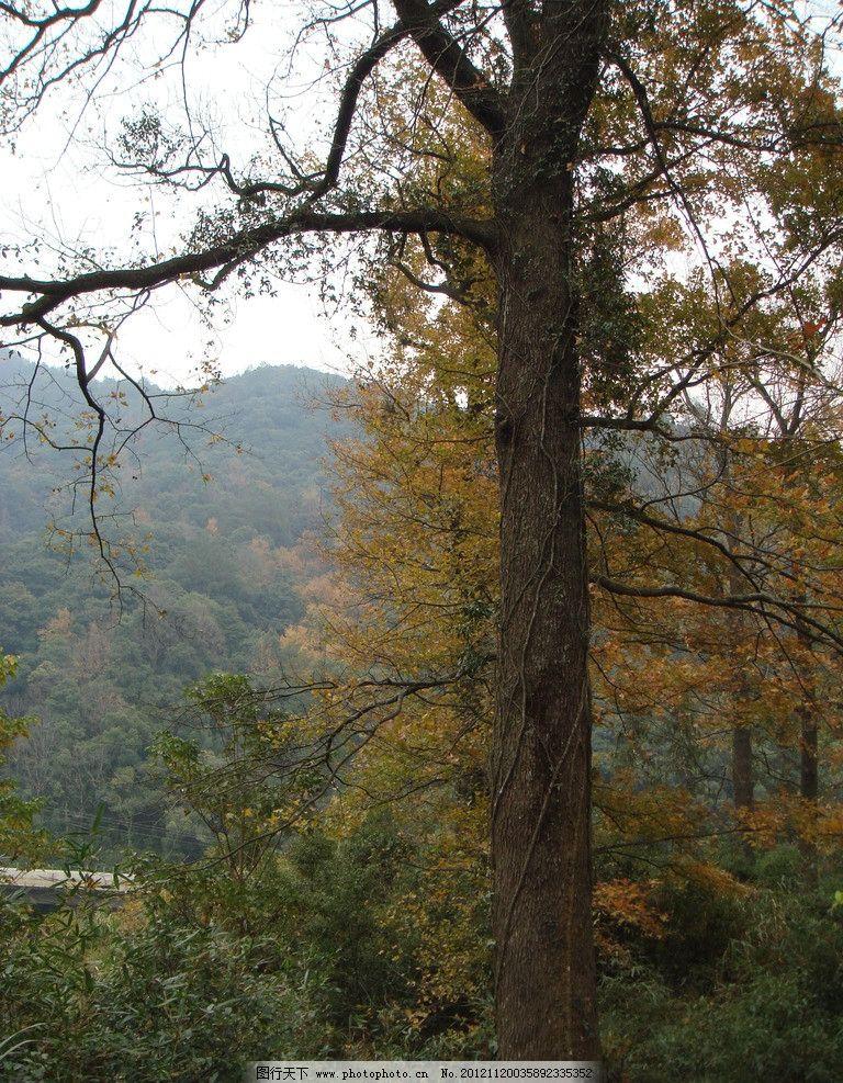 婺源 枫树林 树林 大树 枫林 树干 枯枝 红叶 灌木丛 树木树叶 生物世