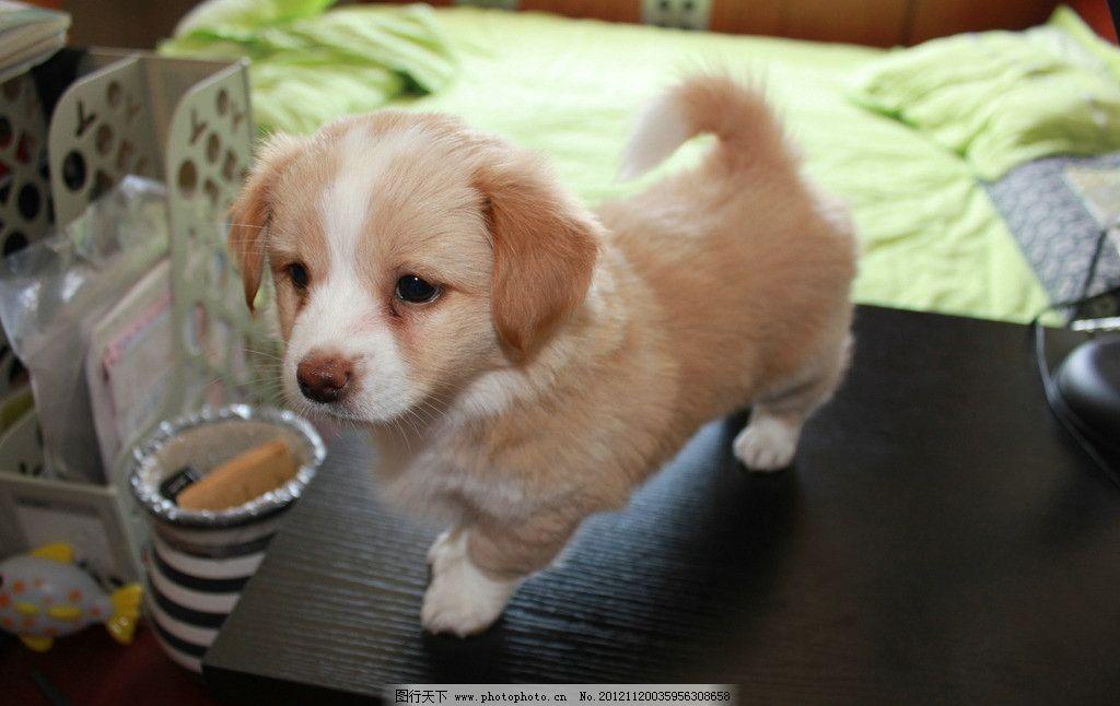 小狗 可爱 动物 家禽 摄影