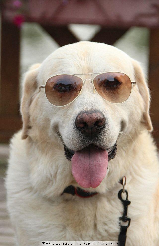 戴墨镜的狗 墨镜 狗狗 舌头 项圈 白色 乖巧 可爱 萌 微笑 友好 家禽
