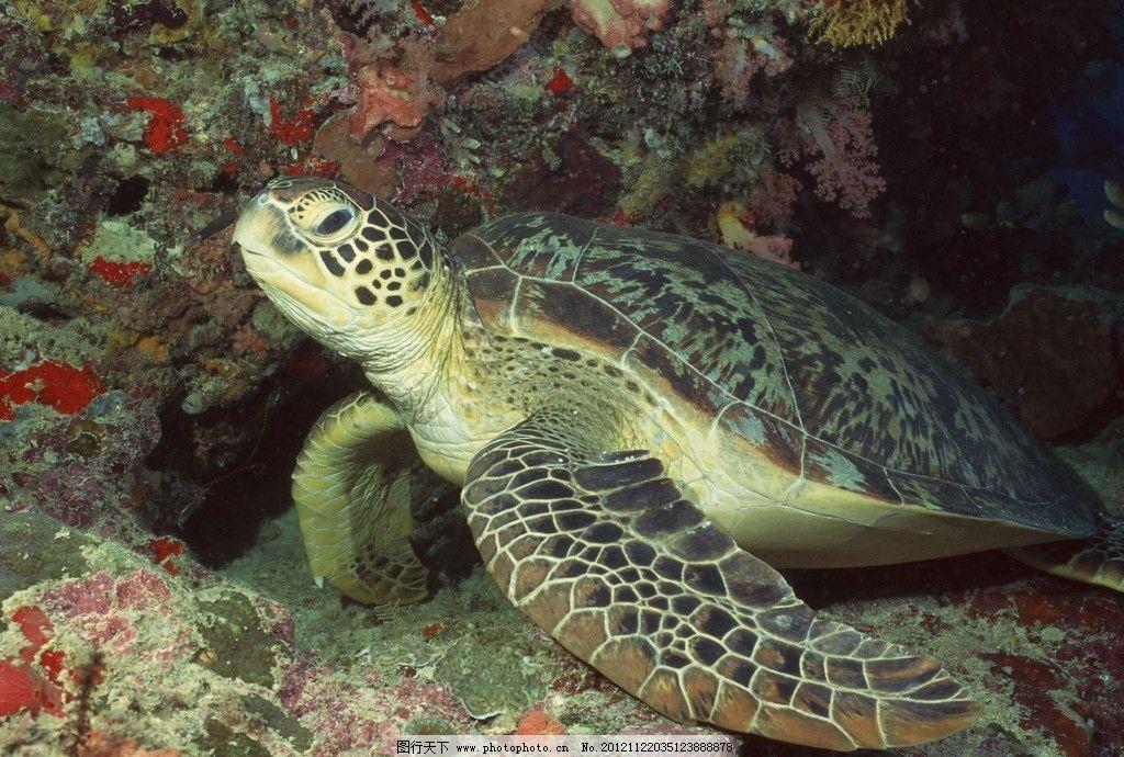 乌龟 海生动物 摄影 海洋 海洋生物 生物世界 72dpi jpg